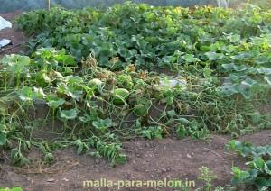 Cultivo de melón sin tutorar.