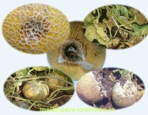 Pérdida de frutos por enfermedades de fitopatógenos